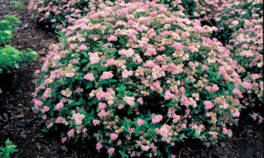 Shrubs Lawncare Landscaping And Hardscapes On Delmarva