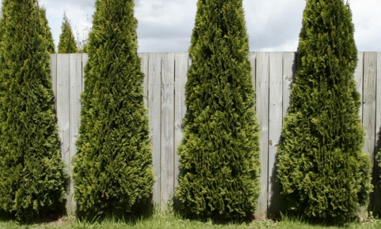 Shrubs lawncare landscaping and hardscapes on delmarva for Tall evergreen shrubs